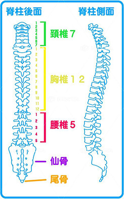 脊柱の後面、側面イメージ